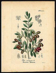 Olea Europæa, sylvestris = Olivier d'Europe, sauvage. [Wild olives.