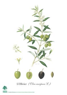 Olive Watercolor Clipart. Hand painting olive art, DIY invites.