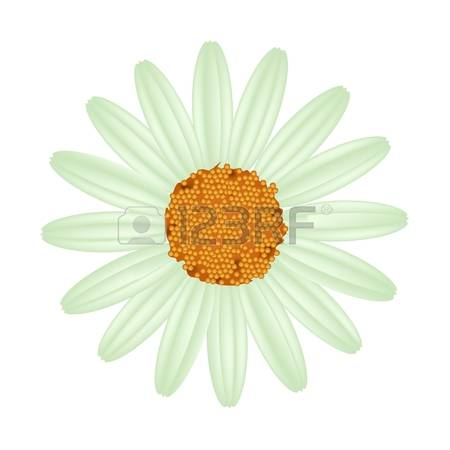 98 Osteospermum Stock Vector Illustration And Royalty Free.