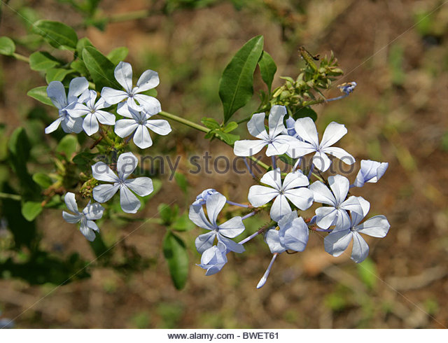 Cape Leadwort Stock Photos & Cape Leadwort Stock Images.