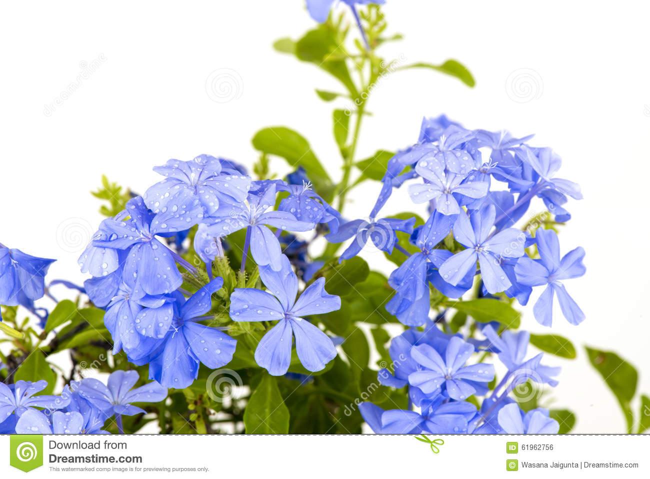 Blue Cape Leadwort Flower Or Blue Plumbago Flower Stock Vector.