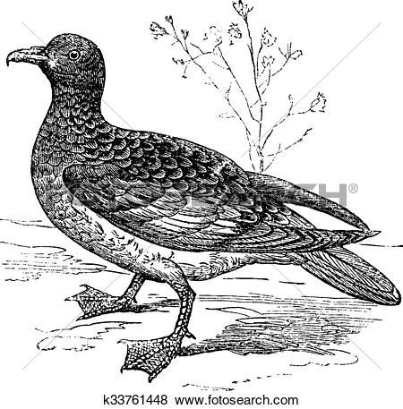 Clip Art of Cape Petrel or Cape Pigeon or Daption capense, vintage.