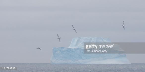 Cape Petrels Fly Along Large Blue Iceberg Stock Photo.