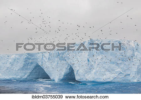 "Stock Photograph of ""Cape Petrel, Cape Pigeon or Pintado Petrel."