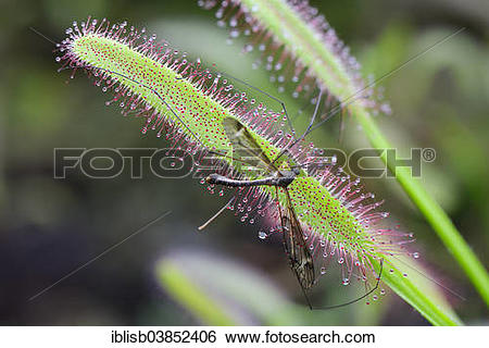 "Stock Images of ""Cape Sundew (Drosera capensis) with a trapped fly."