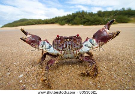 Colorful Crab Defensive Stance Cape Vidal Stock Photo 83530621.