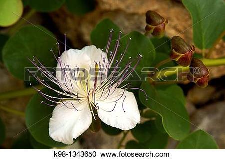 Stock Photography of Caper blossom, Es Pujol Migjorn Llucmajor.