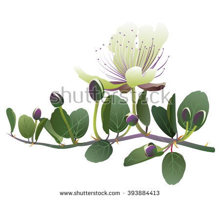 Caper Plant Stock Photos, Royalty.