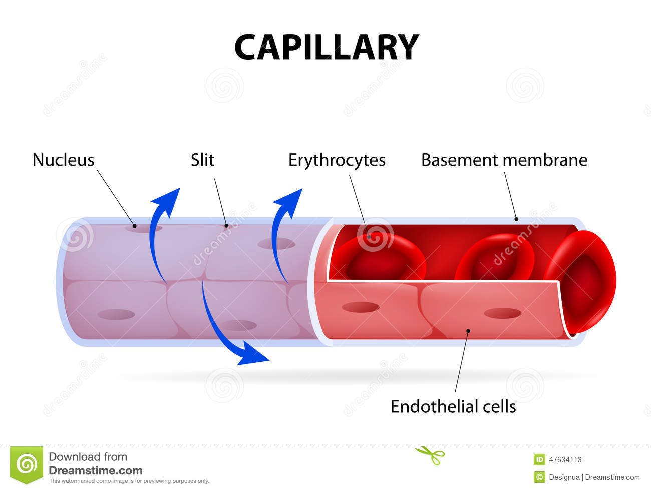 capillaries clipart clipground Human Heart Royalty Free Clip Art Heart Rhythm Clip Art
