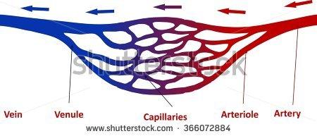 Capillary Stock Vectors, Images & Vector Art.