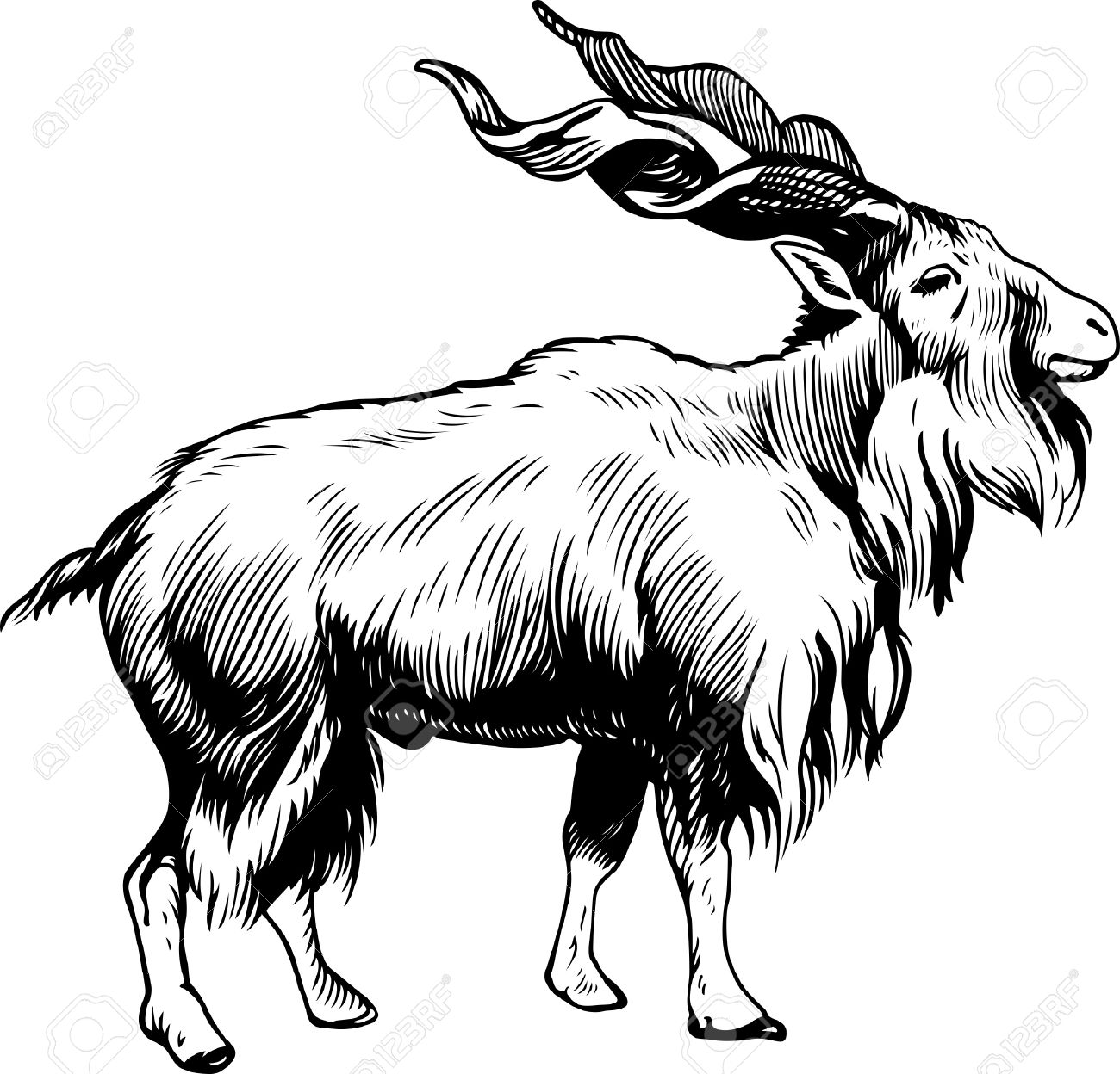 Markhor Male Capra Falconeri Royalty Free Cliparts, Vectors, And.