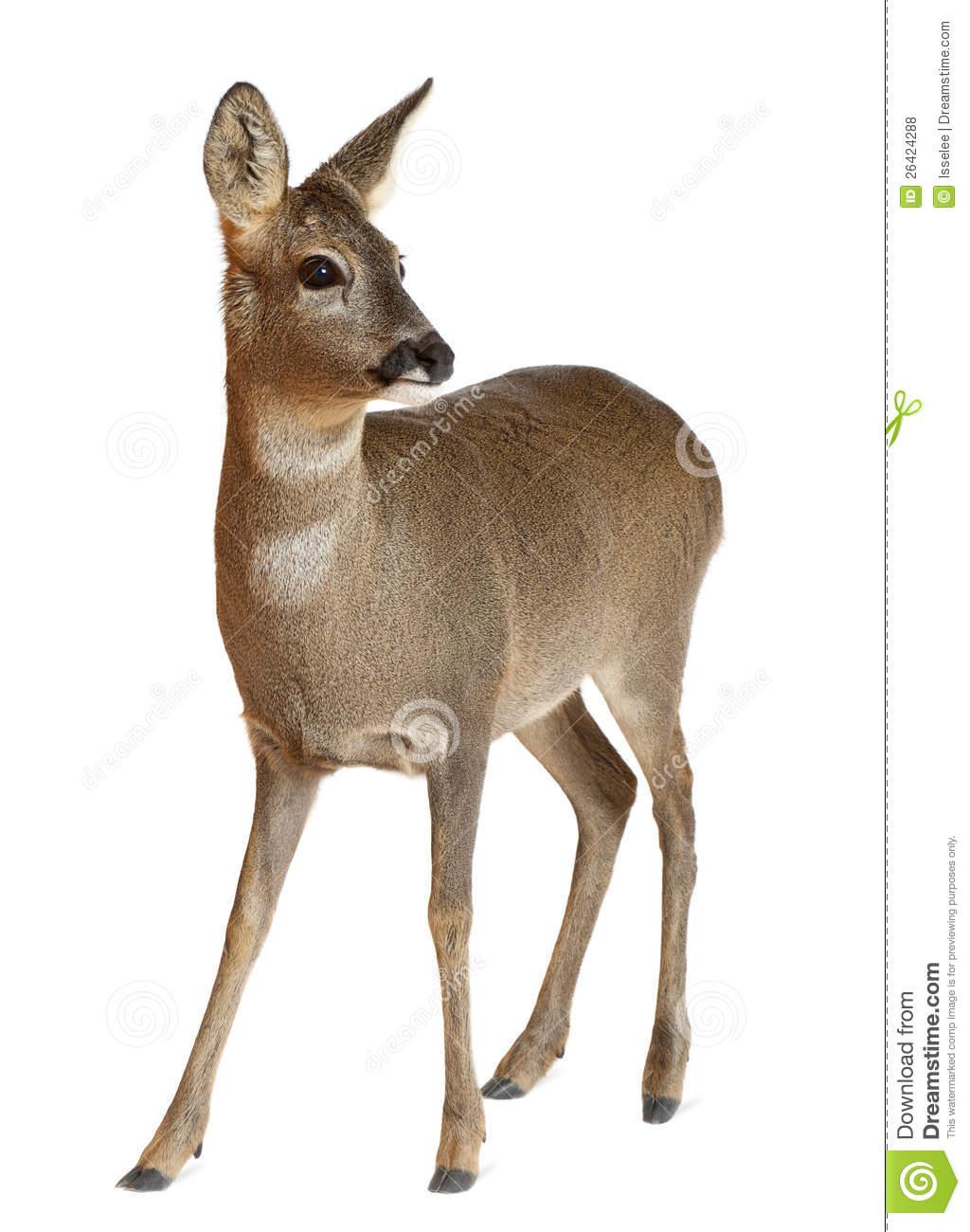 European Roe Deer, Capreolus Capreolus, 3 Years Royalty Free Stock.