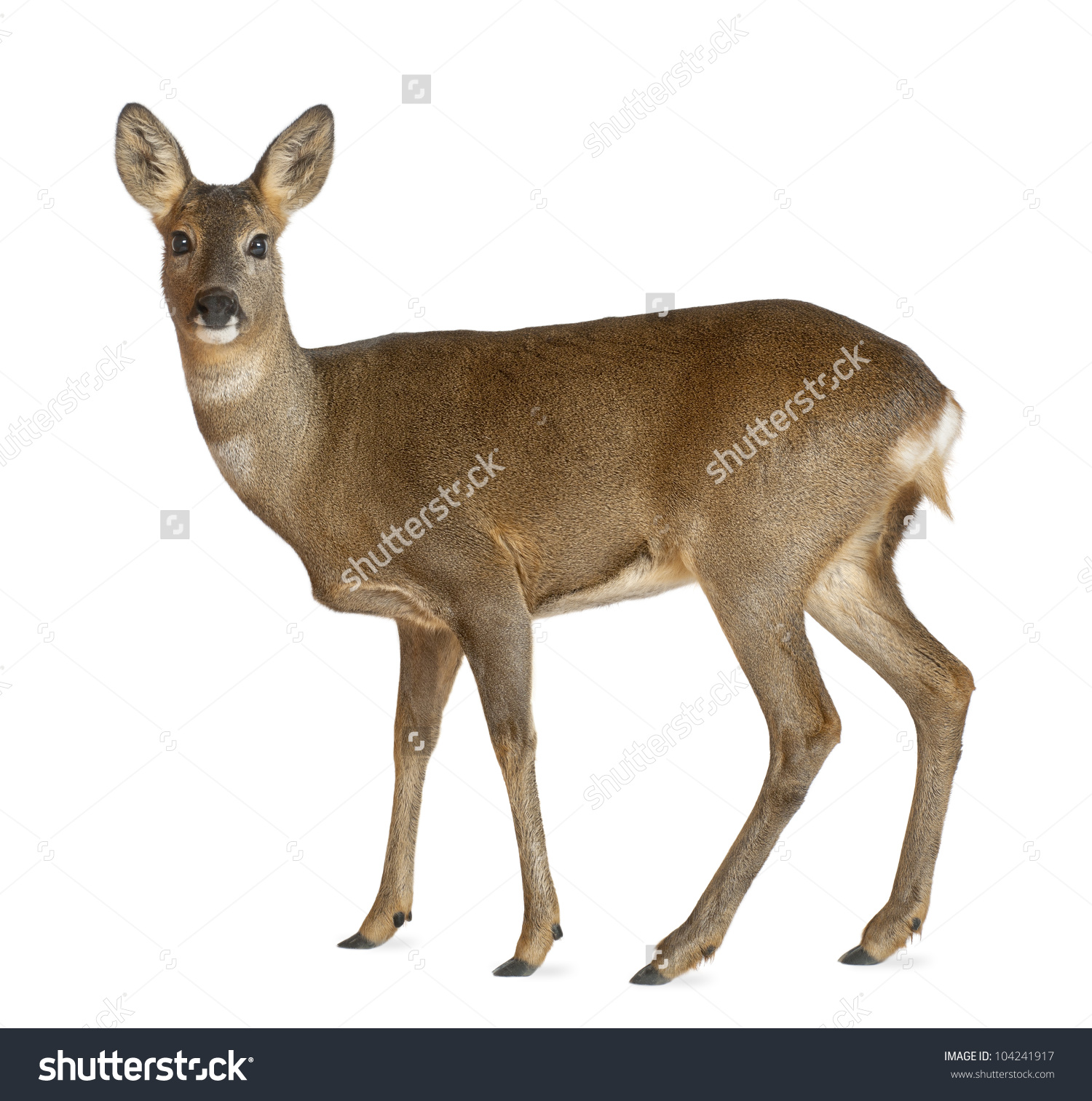 European Roe Deer, Capreolus Capreolus, 3 Years Old, Standing.
