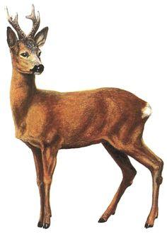 líška hrdzavá (Vulpes vulpes).