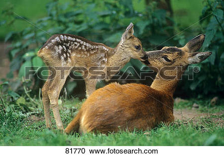 Stock Photography of roe deer with fawn / capreolus capreolus.