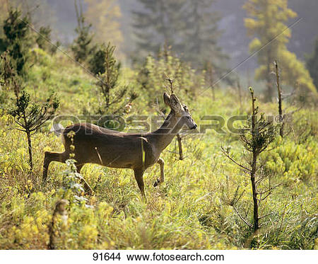 Stock Photo of Roe Deer between young damaged spruces / Capreolus.