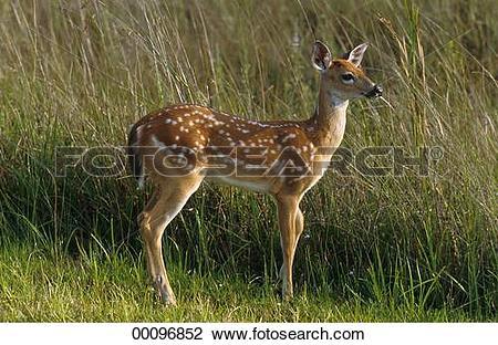 Stock Photo of Capreolus, Capreolus capreolus, Juniors, animal.