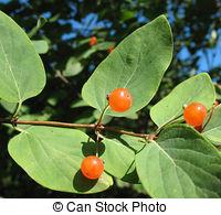 Stock Photography of Berries Tatarian honeysuckle.