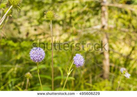 Caprifoliaceae Stock Photos, Royalty.