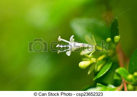 Stock Photo of Abelia chinensis var ionandra, Caprifoliaceae.