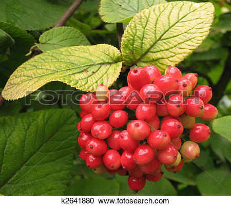 Stock Photography of Fruits gordoviny Viburnum (Viburnum lantana.