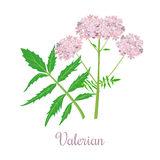 Caprifoliaceae Stock Illustrations.