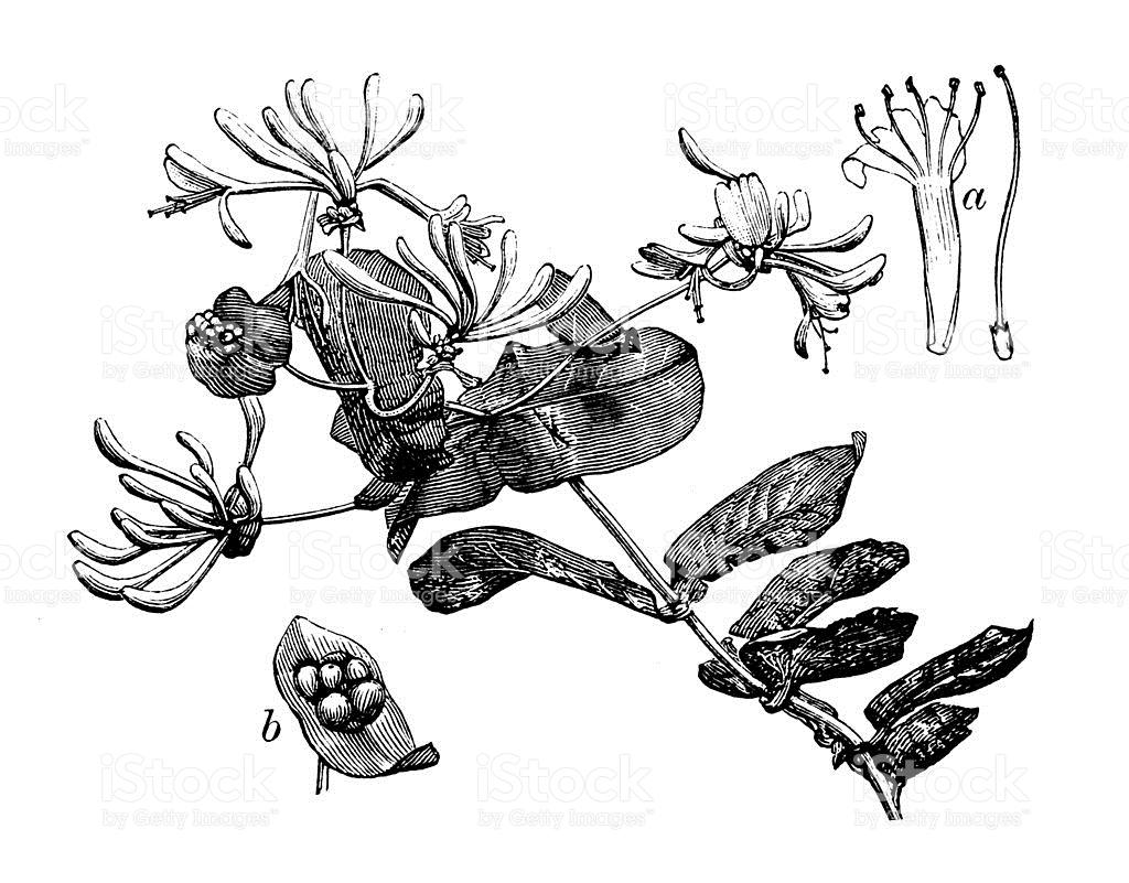 Antique Illustration Of Lonicera Caprifolium stock vector art.