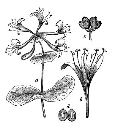 Honeysuckle Clip Art, Vector Images & Illustrations.