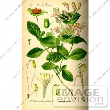 Picture of Perfoliate Honeysuckle (Lonicera caprifolium).