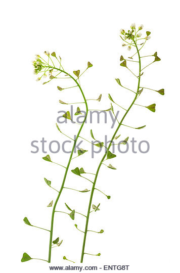 Capsella Bursa Pastoris Plant Stock Photos & Capsella Bursa.