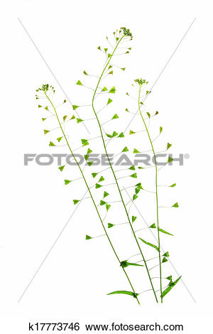 Stock Images of Shepherd's purse (Capsella bursa.
