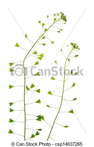 Stock Image of Shepherd's purse (Capsella bursa.