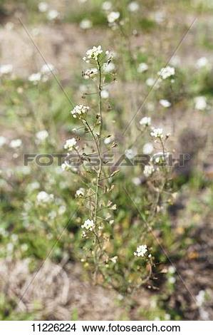 Stock Photo of Capsella (Capsella bursa pastoris) 11226224.