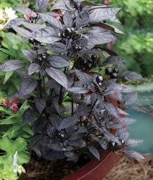 Capsicum annuum 'Black Pearl'.