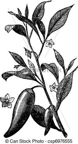 Clipart Vector of Annual chili (Capsicum annuum) or Mississippi.