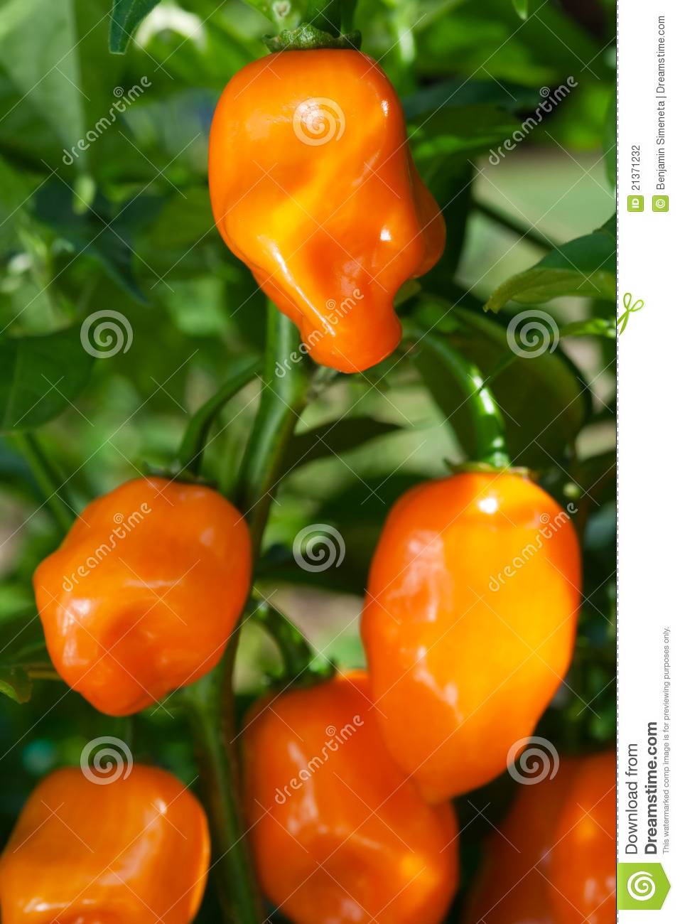 Habanero Peppers (Capsicum Chinense) Stock Photography.