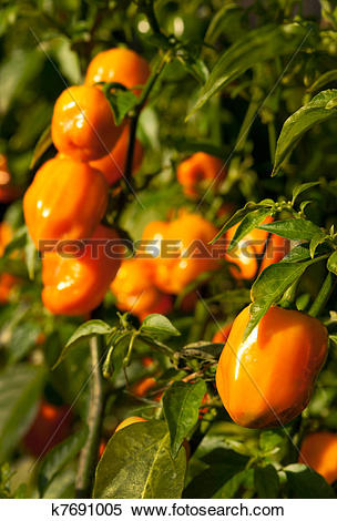 Stock Image of Habanero Peppers (Capsicum Chinense k7691005.