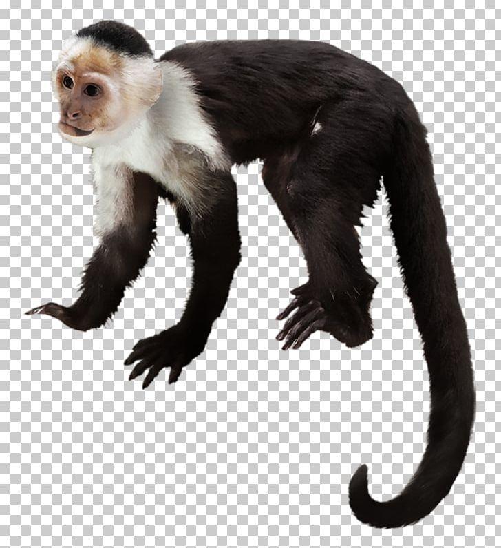 Capuchin Monkey Primate Gorilla White.