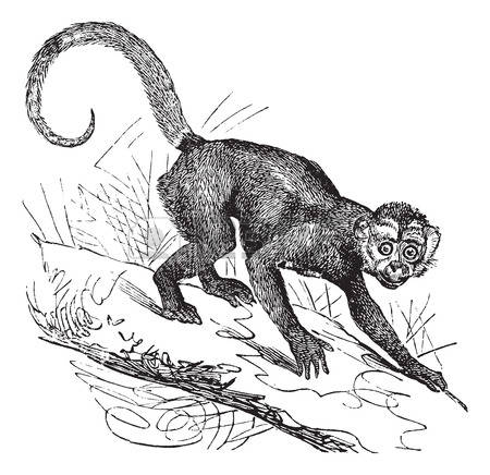 215 Capuchin Stock Vector Illustration And Royalty Free Capuchin.