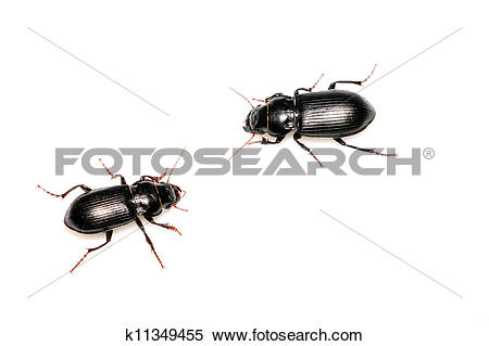 Stock Image of carabidae k11349455.