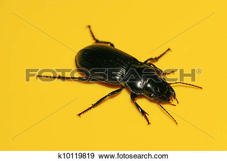 Stock Photograph of carabidae k10119819.