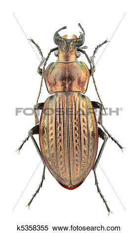 Stock Image of Carabus ullrichii fastuosus k5358355.