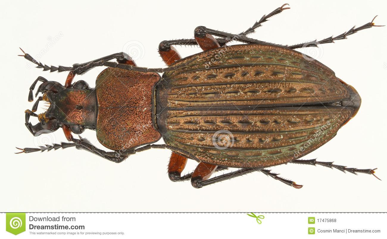 Beetle Carabus Cancellatus Royalty Free Stock Image.