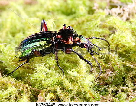 Stock Image of Beneficial Insects Carabus auratus k3760445.