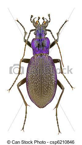 Stock Image of Carabus intricatus.
