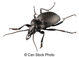 Pictures of Black carabus beetle isolated on the white background.