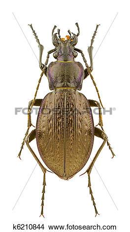 Stock Photo of Carabus obsoletus k6210844.