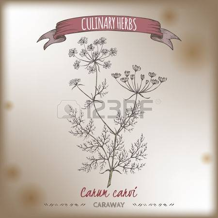 0 Caraway Cumin Stock Vector Illustration And Royalty Free Caraway.