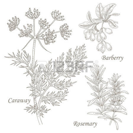 118 Caraway Stock Illustrations, Cliparts And Royalty Free Caraway.