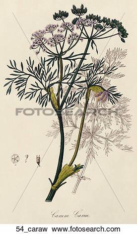 Stock Illustration of Antique Botanical Illustration of Caraway.